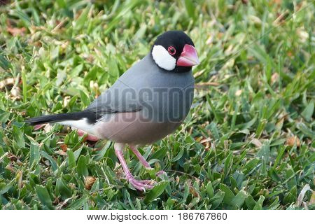 A Java Sparrow a member of the finch family on grass in Hawaii
