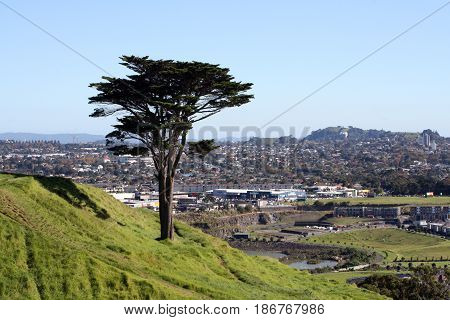 Macrocarpa tree standing on the side of Mt Wellington, in Auckland, with city in background.