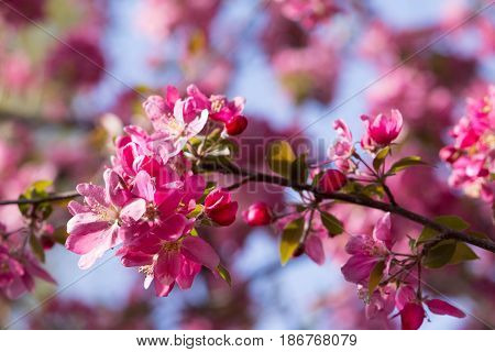 Crab apple branch with multiple pink and fuchsia blossoms and buds with out of focus blossoms in the background. Photographed in natural light with shallow depth of field.