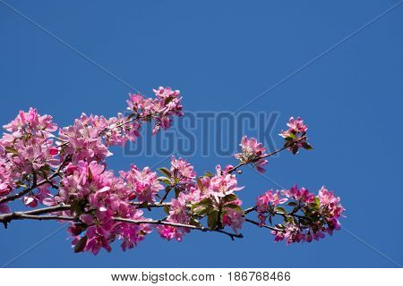 Crab apple branch with multiple pink and fuchsia blossoms and buds against a deep blue, cloudless sky. Photographed in natural light with shallow depth of field. Image has copy space.