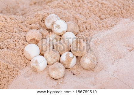 Non-hatching eggs of turtle on beach sand