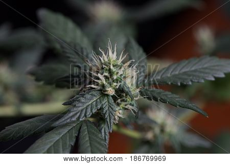 Young female cannabis marijuana flower in early stage