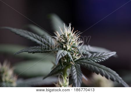 Young female cannabis marijuana flower in early stage.