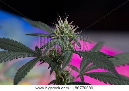 Female marijuana cannabis flower in early stage