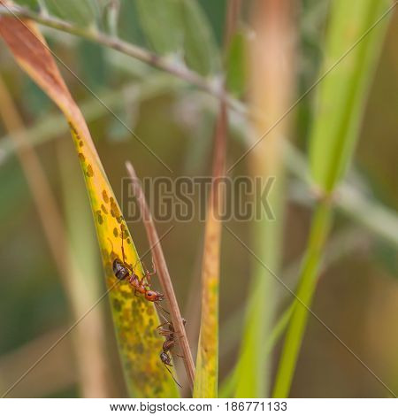 Macro of two ants harvesting aphids on grass.