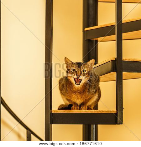 Beautiful growling sitting cat in the kitchen on a spiral staircase