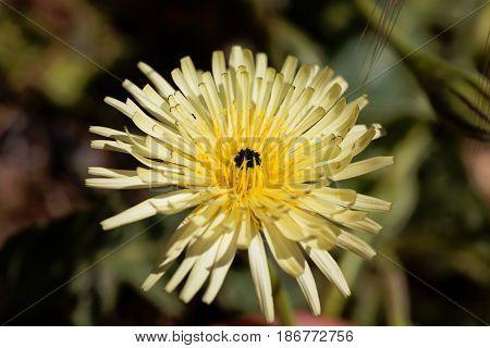 Flower of the Smooth Golden Fleece (Urospermum dalechampii)