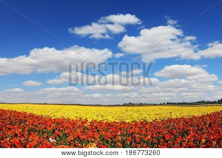 Concept of rural tourism. Fluffy clouds over a field of blooming buttercups - ranunculus