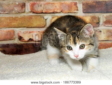 One calico kitten crouched down on sheepskin ready to pounce brick wall background.