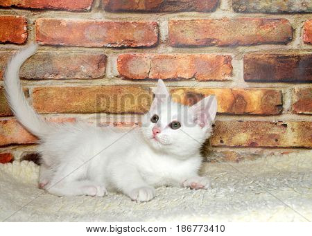 One small fluffy white kitten playing on sheepskin looking up and to viewers left brick wall background.