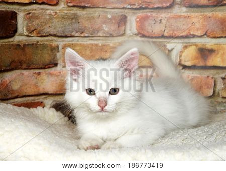 One small fluffy white kitten sprawled out on fluffy sheepskin looking at viewer brick wall background.