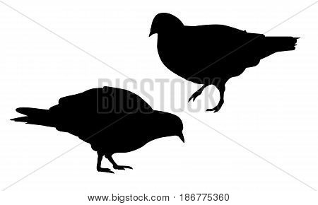 Set of realistic vector illustrations of silhouette walking and pecking pigeon isolated on white background