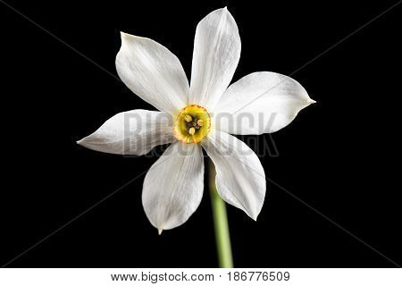 Wild narcissus stellaris. Wild flower isolated on black background.