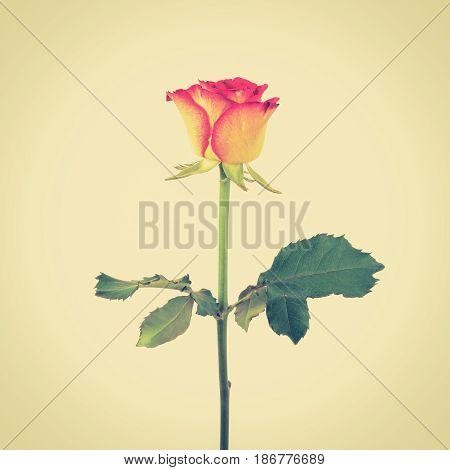 Beautiful single yellow red rose vintage tone