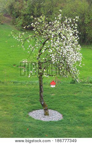 Apple tree in full bloom in spring time