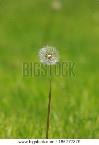 Spring dandelion on green natural background