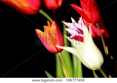 Colorful Tulips against black background