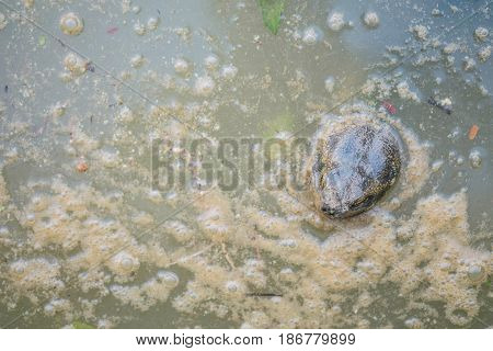 Closeup turtle head on dirty water in pond textured background with copy space