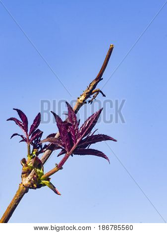 Leaves of red elderberry Sambucus Racemosa on branch against blue sky close-up selective focus shallow DOF.