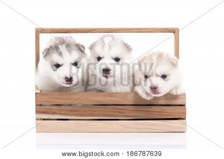 Cute Siberian husky puppies sitting in a wooden crate on white background isolated