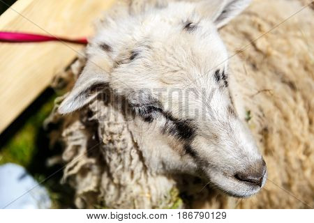 A young ram is sitting in the corral in the sunny summer