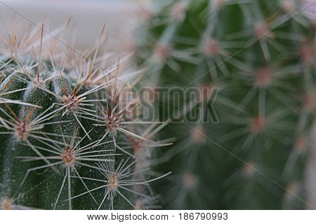 Two small round green cactus close-up with long light needles