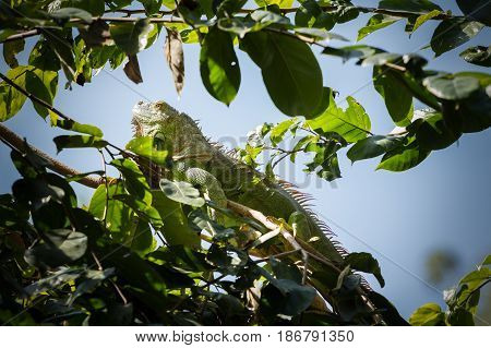 green iguana on the tree in the park