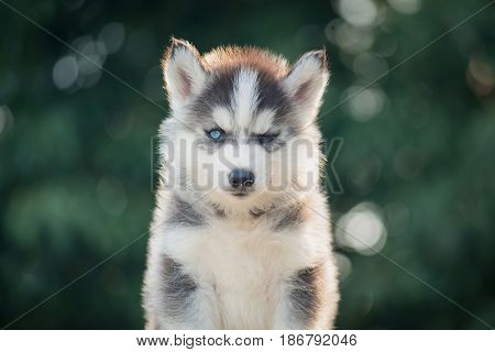 Cute siberian husky puppy with bokeh sunlight