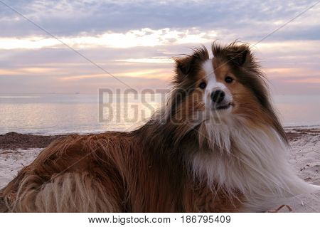 Shetland Sheepdog sheep dog Shelty Sheltie breed lassie animal pet on beach poster
