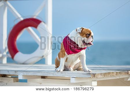 Cute puppy of english bull dog with funny face and red bandana on neck close to life saving bouy round floater.