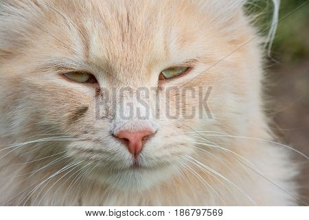 Animal portrait. Portrait of a white tomcat with long fur.