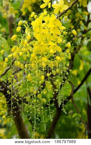 Golden Rain Tree In The Garden