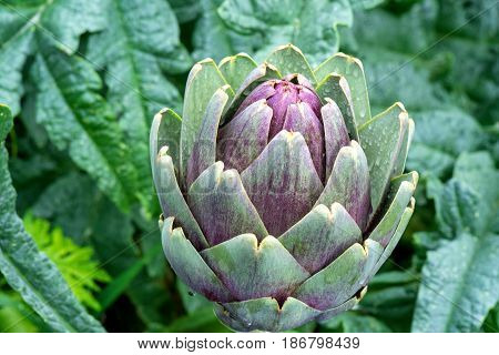 Vegetables from the garden. Artichokes with water drops after a rain shower.