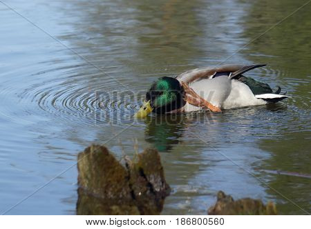 Male mallard duck prinking on the water
