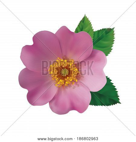 Realistic pink flower of a dogrose on a white background. Vector illustration