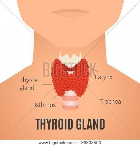 Thyroid gland diagram. Thyroid gland and trachea shown on a silhouette of a man. Body anatomy sign. Human endocrine system. Medical internal organ vector illustration.