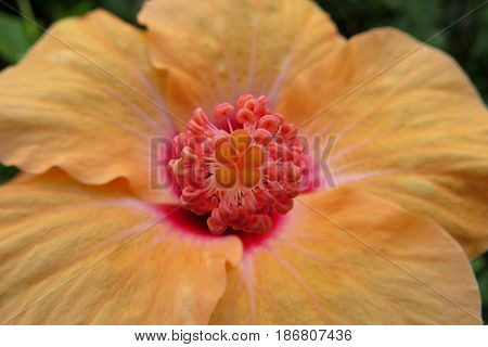 Hibiscus Mallow Malvaceae subtropical and showy flower in bloom