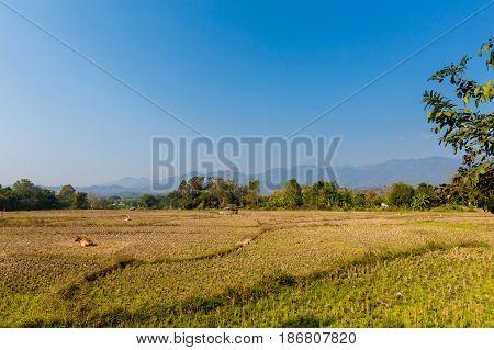 Rice Fields In Pai Village