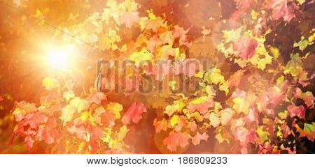 Glowing background against low angle view of maple leaves