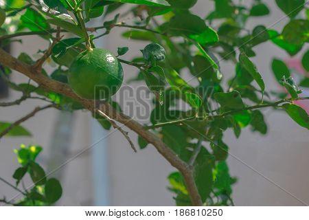 Green Lemon; Lemons hanging on tree; Growing Lemon