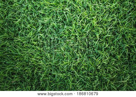 Green grass texture, green grass background. Top view of natural green grass for golf course and soccer field.
