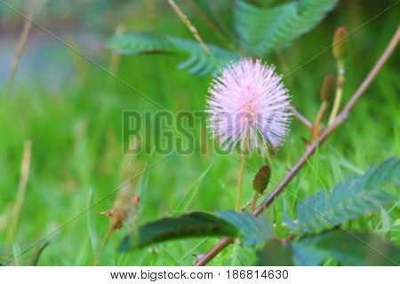 blurred mimosa pudica. sensitive plant flower pink beautiful in nature for background