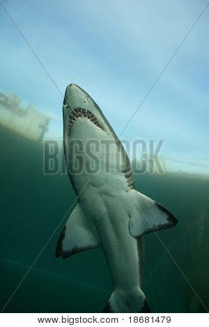 Underwater Shark