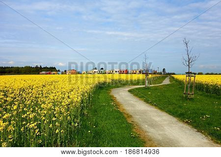 The path between rapeseed oil and colored houses in the background.