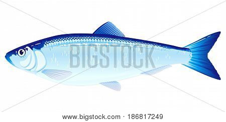 One Atlantic herring fish from one side, high quality illustration of sea fish, isolated