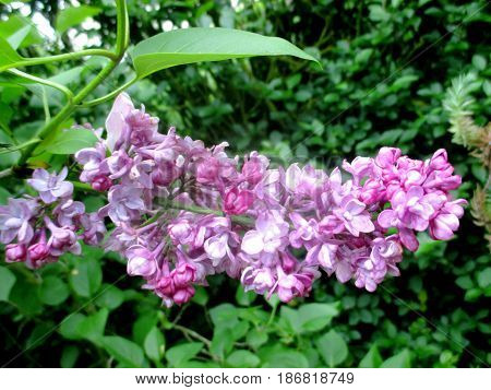 close up on a beautiful flower of lilas