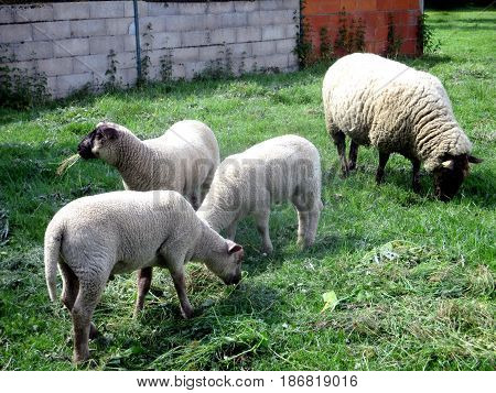 a herd of sheep biting in their pasture