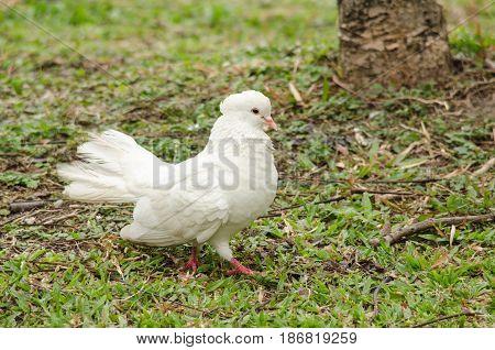 Rock Pigeon In The Garden