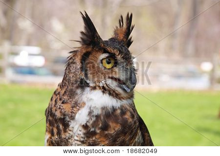 Great Horned Owl Close-up poster