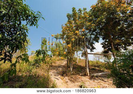 Thai Yellow Cotton Tree